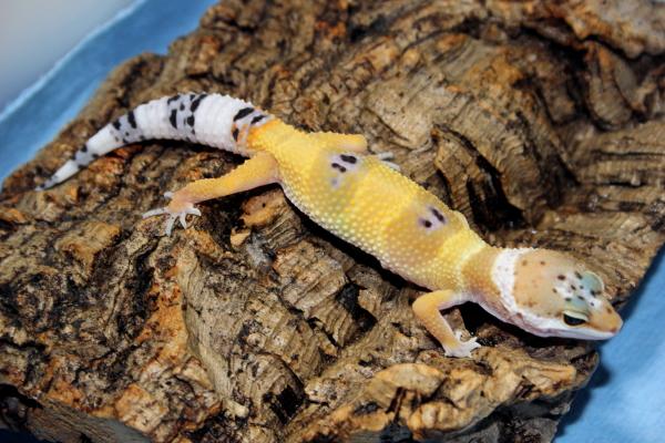 Gecko Ranch | Captive Bred Geckos | Repashy Gecko Diets