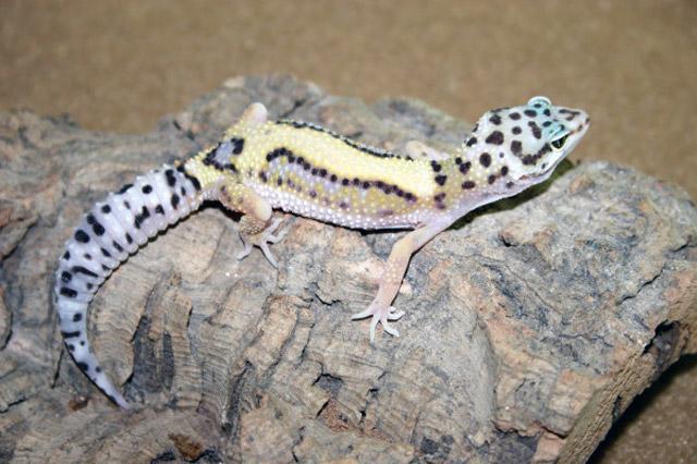 Gecko Ranch | Captive Bred Leopard Geckos for Sale | Eublepharis